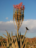 Blooming Aloe Littoralis Photographic Print by Uros Ravbar
