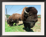 El Duque, Right, a 7-Year-Old Bison Weighing Nearly 2,000 Pounds, Contemplates His Share of Grain Framed Photographic Print by Nancy Palmieri