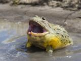 African Bullfrog (Pyxicephalus Adspersus) Fotodruck von Ariadne Van Zandbergen