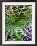 A Banana Spider's Web Framed Photographic Print