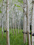 Rubber Trees Photographic Print by Austin Bush