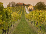 Vineyard Photographic Print by Richard Nebesky