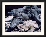 Alligators Bask in the Sun in Louisiana's Bayou Country Framed Photographic Print