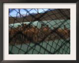 Sheared Vicunas Wait to Be Released by Farmers in the Andean Village of Patoko, Bolivia Framed Photographic Print