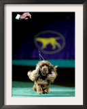 Sussex Spaniel at the 133rd Westminster Kennel Club Dog Show at Madison Square Garden Framed Photographic Print