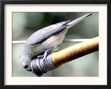A Thirsty Tufted Titmouse Takes Advantage of a Dripping Garden Hose for an Afternoon Drink Framed Photographic Print