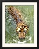 A Royal Bengal Tiger Framed Photographic Print