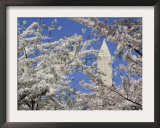 Washington Monument Peers in Between the Blossoming Cherry Trees in Washington Framed Photographic Print