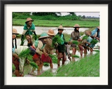 Burmese Women Plant Rice at the Beginning of the Monsoon Season Framed Photographic Print