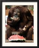 Six-Year-Old Male Orangutan Allan Eats a Piece of Watermelon at the Everland Amusement Park Framed Photographic Print