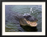 An Alligator Leaps from the Water in the Louisiana Bayou Framed Photographic Print