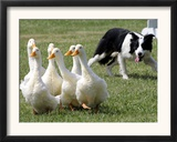 Shep, a Two-Year Old Border Collie, Herds Ducks Framed Photographic Print
