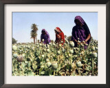 Women Cultivate Poppy Plants April 19 Framed Photographic Print