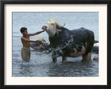 An Iraqi Boy Washes a Water Buffalo Framed Photographic Print