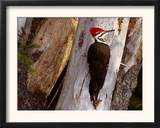 A Male Pileated Woodpecker Looks Around Before Boring into the Trunk of a Dead Pine Framed Photographic Print
