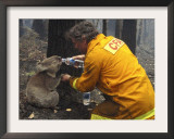 Firefighter Shares His Water an Injured Australian Koala after Wildfires Swept Through the Region Framed Photographic Print