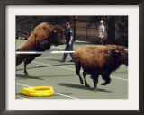 Two of Nine American Bison That Escaped Run from Police and Volunteers Framed Photographic Print