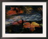 Colorful Maple Leaves Float Along the Shore of Pinchot Lake in Gifford Pinchot State Park Framed Photographic Print by Carolyn Kaster