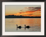 Two Swans Glide across Lake Chiemsee at Sunset near Seebruck, Germany Framed Photographic Print by Diether Endlicher