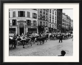 A Herd of Cattle is Driven Along a Paris Streen Framed Photographic Print