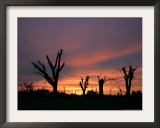 Storm Damaged Trees Silhouetted against the Setting Sun, Greensburg, Kansas, c.2007 Framed Photographic Print by Charlie Riedel