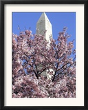 The Blossoms are Almost in Full Bloom on the Cherry Trees at the Tidal Basin Framed Photographic Print