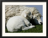 A Lamb Looks for Shelter Aside its Mother Sheep Framed Photographic Print