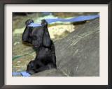 Kimani, an Endangered Female Western Lowland Gorilla Framed Photographic Print