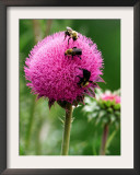 A Trio of Bees Explore a Giant Thistle Bloom on a Farm Near New Castle Framed Photographic Print