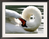 Swan on the river Rhine near Breisach, Germany Framed Photographic Print by Winfried Rothermel