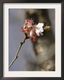Bee Alights on a Cherry Tree at the Brooklyn Botanic Garden in New York Framed Photographic Print