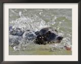A Mini Italian Greyhound Named Gi Framed Photographic Print