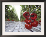 Tomato Greenhouse, Madison, Maine Framed Photographic Print by Robert F. Bukaty