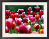 Rain Drops Twinkle on Blooming Tulips on a Field near Freiburg, Germany Framed Photographic Print by Winfried Rothermel
