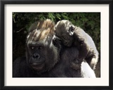 A Baby Gorilla Rests on His Mother Julia's Shoulder Framed Photographic Print