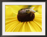 A Bee Collects Pollen from a Black-Eyed Susan Framed Photographic Print