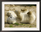 Polar Bear Cub, Berlin, Germany Framed Photographic Print by Franka Bruns