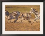Zebras and Offspring at Sunset, Amboseli Wildlife Reserve, Kenya Framed Photographic Print by Vadim Ghirda