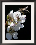 Bee and Pear Blossom, Bruchkoebel, Germany Framed Photographic Print by Ferdinand Ostrop