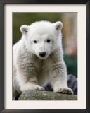 Sick Polar Bear Cub, Berlin, Germany Framed Photographic Print by Michael Sohn