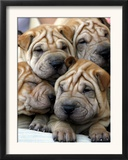 Chineses Shar-Pei Puppies are Displayed for Sale Framed Photographic Print