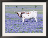 Longhorn Grazing on Bluebonnets, Midlothian, Texas Framed Photographic Print by Pat Sullivan
