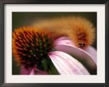 A Fuzzy Caterpillar Inches Along the Top of a Purple Coneflower Framed Photographic Print