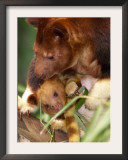 A Baby Goodfellow's Tree Kangaroo Peeks from its Mother's Pouch at the Cleveland Metroparks Zoo Framed Photographic Print