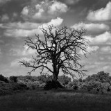 Dead Cottonwood Tree in a Cloud Shadow Wall Decal
