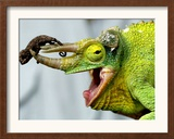 A Newly Born Jackson&#39;s Chameleon Rests on its Dad&#39;s Horns Framed Photographic Print