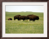 American Bison Rest on a Fenced Prairie Framed Photographic Print