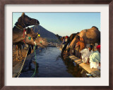 Camel Tradesman Stay Close to Their Livestock as They Drink from a Water Hole Framed Photographic Print