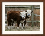 Two Young Cows Graze Framed Photographic Print