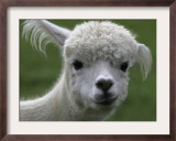 B.C., a 3-Year-Old Alpaca, at the Nu Leafe Alpaca Farm in West Berlin, Vermont Framed Photographic Print by Toby Talbot